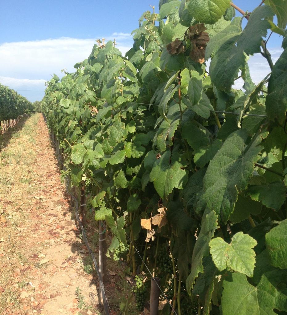 vineyard one