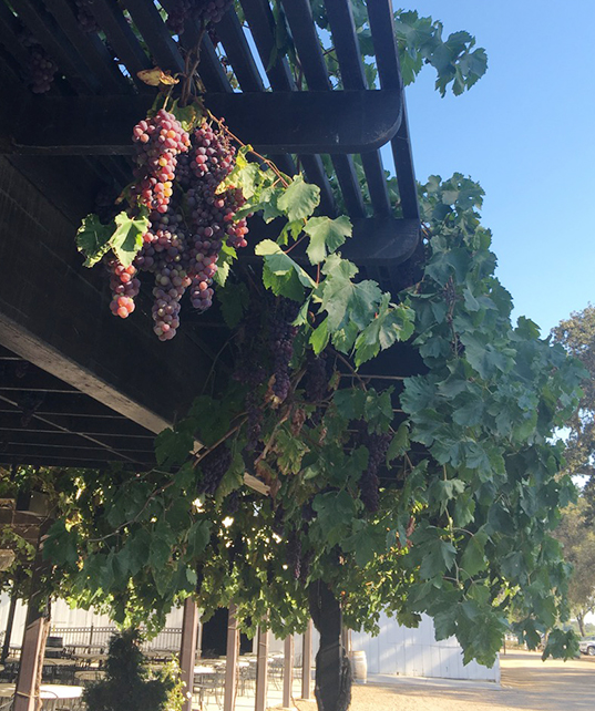 grapes trellis