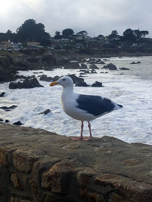 lp-seagull